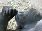 Child falls into Gorilla zoo enclosure in Ohio