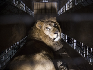 Over 30 circus lions rescued from Peru, Colombia