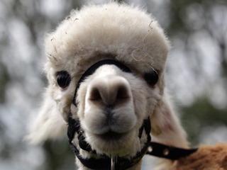 Llama makes daring escape in Colorado