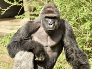 Cincy Zoo says right call made to kill gorilla