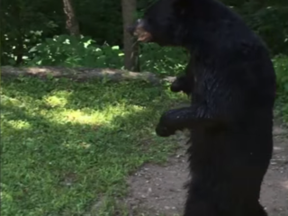 WATCH: Pedals the bear walks like a person