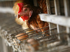 Man saved from blaze by son's cackling chickens