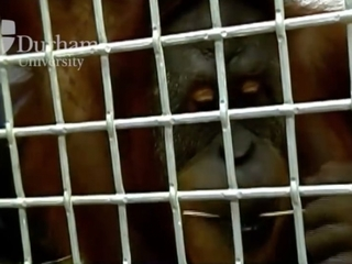 Orangutan able to mimic human speech