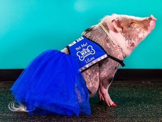Therapy pig roams San Francisco airport