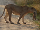 Lioness safely carries cub across road