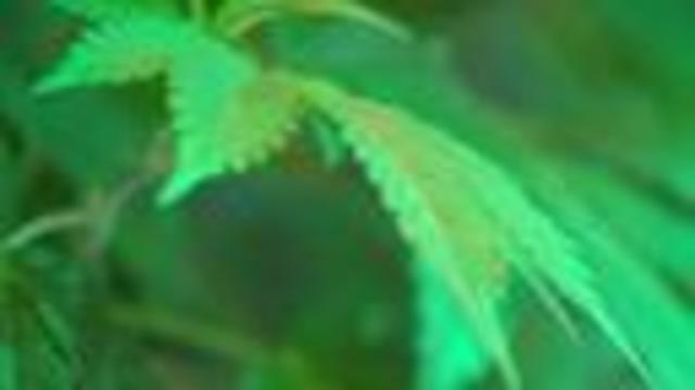 Legal marijuana businesses brace for White House crackdown