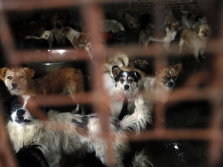 Dog meat sales banned at dog meat festival
