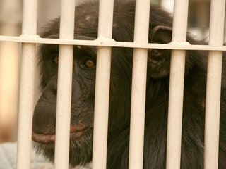 Only 72 lab chimps have moved to sanctuaries