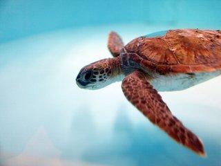 99 Percent of these sea turtles are born female