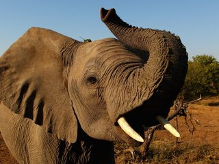 Hunters Could Soon Bring Their Elephant...