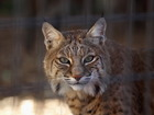 Grandmother fights off bobcat