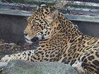 Jaguar escapes enclosure, kills 6 other animals