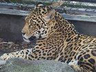 9th animal dies after jaguar escapes zoo